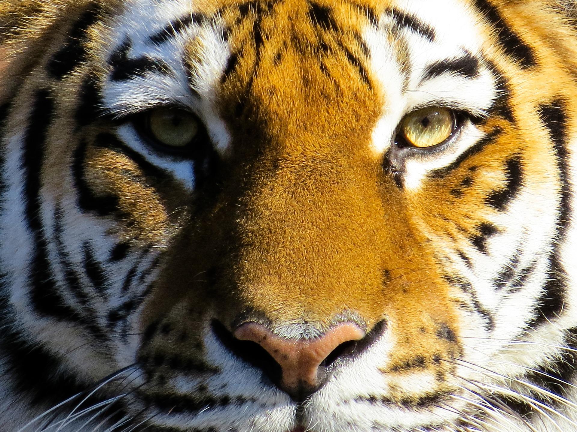 randi-hausmann_tiger