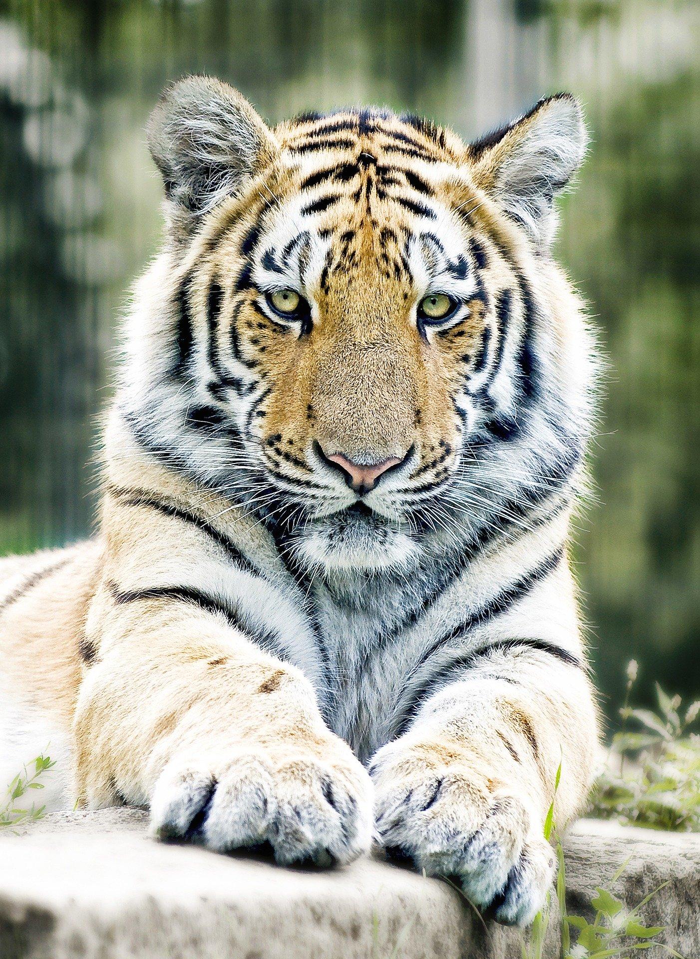 randi_hausmann_tiger1